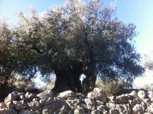 93-olivetree