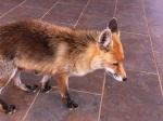 110-fox