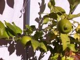 120-lemons